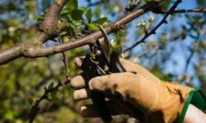 Обрезка яблонь весной: как правильно обрезать? Схемы и сроки