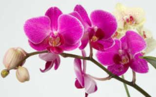 Как ухаживать за орхидеями в домашних условиях после покупки в горшке: пошаговая инструкция, что с ними нужно делать, когда принесли из магазина, фото цветка