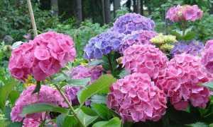 Какие сорта гортензии можно посадить в Сибири и как за ними ухаживать — Цветы, Описание, советы, отзывы, фото и видео
