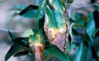 Ржавчина на растениях: Как подобрать лечение и как предотвратить ее появление