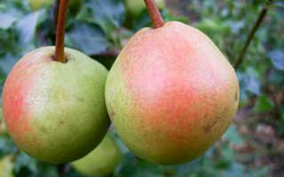 Сорт груши Краснобокая: фото, отзывы, описание, характеристики