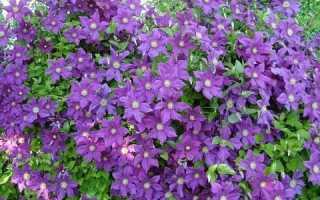 Как правильно размножить клематис: черенками, делением и семенами, Мир Садоводства