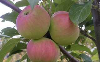 Сорт яблони Подарок садоводам: фото, отзывы, описание, характеристики
