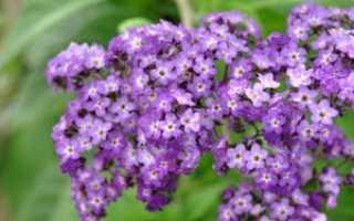 Наиболее популярные сорта гелиотропа, описание и фото цветов