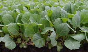 Когда, и как правильно сажать цветную капусту на рассаду: посадка семян, сроки