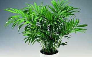 Как вырастить хамедорею из семян?