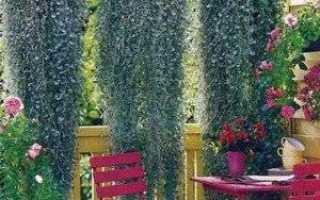 Узнайте больше об особенностях использования в садовом дизайне дихондры Серебристый водопад