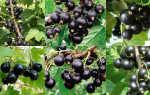 Самый лучший сорт: черная смородина 15 сортов крупноплодные, высокоурожайные, Веселый Урожайник