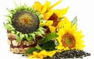 Подсолнечник: выращивание растения на дачном участке
