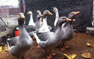 15 пород гусей для домашнего разведения: мясные, пуховые, кубанские, бройлерные