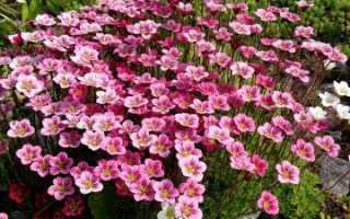 Камнеломка Арендса: лучшие сорта, размножение, посадка, уход и применение в саду