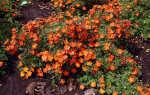 Кустарниковая лапчатка: уход за культурой и выращивание в саду