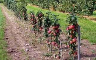 Как посадить колоновидную яблоню: сроки посадки и схема