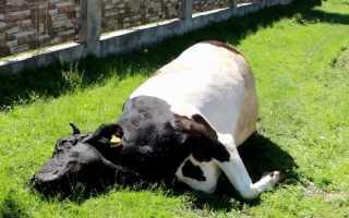 Болезни коров: обзор распространенных симптомов заболеваний и советы по лечению и профилактике