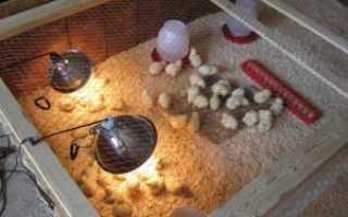 Инфракрасная лампа для цыплят: как использовать