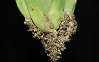 Реанимация мильтонии: что делать, если орхидея потеряла корни