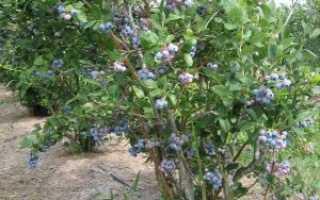 Сорта садовой высокорослой голубики