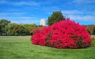 Бересклет — уход и посадка, кустарник бересклет форчуна в ландшафтном дизайне, зимовка, фото, видео