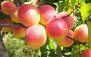 Выращивание абрикоса, посадка и уход за абрикосами, Дачный участок