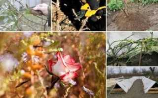 Укрытие роз на зиму в средней полосе России, особенности зимнего укрытия роз лапником