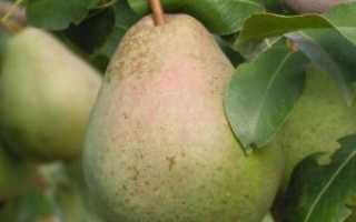 Лучшие советы по уходу и посадке груши сорта — Ника — в своем саду