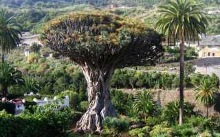 Драконово дерево: описание, особенности, свойства и интересные факты