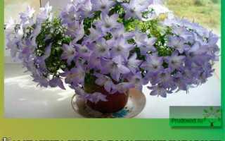 Кампанула уход в домашних условиях: секреты лучшего цветения