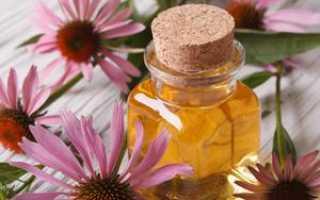 Эхинацея лечебные свойства и противопоказания, применение в целебных целях