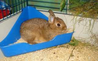 Пахнут ли декоративные кролики?