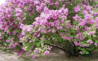 Персидская сирень, ее карликовый вид, способы выращивания и ухода