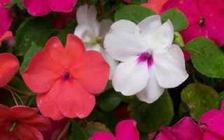 Бальзамин ампельный: выращивание из семян, особенности и отзывы