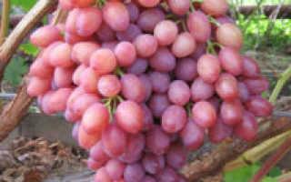Виноград Кишмиш лучистый: описание сорта, выращивание уход и отзывы