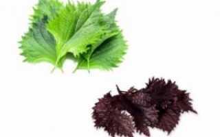 Перилла: особенности выращивания декоративного пряного растения