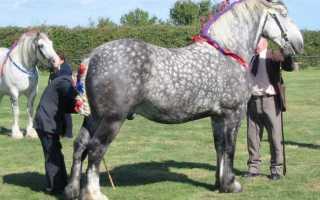 Першерон: самый высокий конь с роскошной гривой