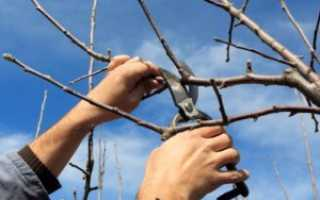Обрезка вишни осенью: схема и советы для новичков, видео