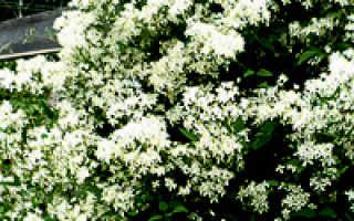 Клематисы: выращивание и уход, размножение и разведение в саду и на даче