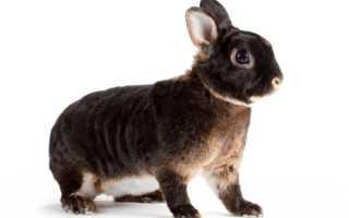 Кролики Рекс: описание породы, фото