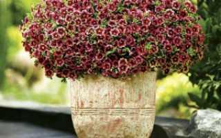 Калибрахоа выращивание и уход удобрение обрезка и размножение