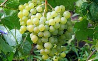 Виноград алешенькин: описание сорта