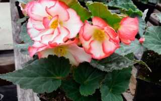 Болезни бегонии и их лечение: болезни листьев, вредители, чем обрабатывать растение