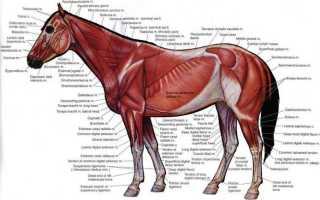 Анатомия лошади, ее строение, особенности — Мой Конь