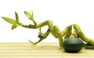 Бамбук счастья (драцена Сандера, спираль): уход, размножение, посадка