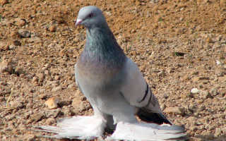 Голуби Агараны (туркменские): описание, фото породы