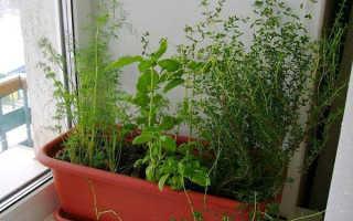 Выращивание чабреца в домашних условиях