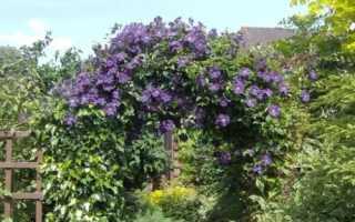 Азарина лазающая: особенности посева, выращивания и ухода, Полезные советы