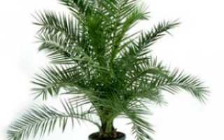 Выращивание финиковой пальмы из косточки в домашних условиях: практические советы от экспертов