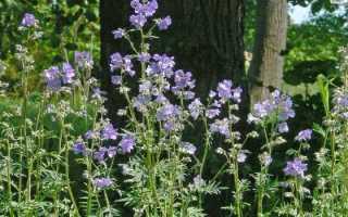 Синюха голубая лечебные свойства и противопоказания — Здоровье и долголетие