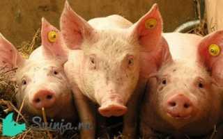Какая нормальная температура у свиней