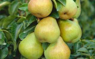 Что такое бергамот: груша или цитрус?