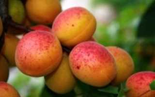 Сажаем абрикос осенью: самые лучшие советы